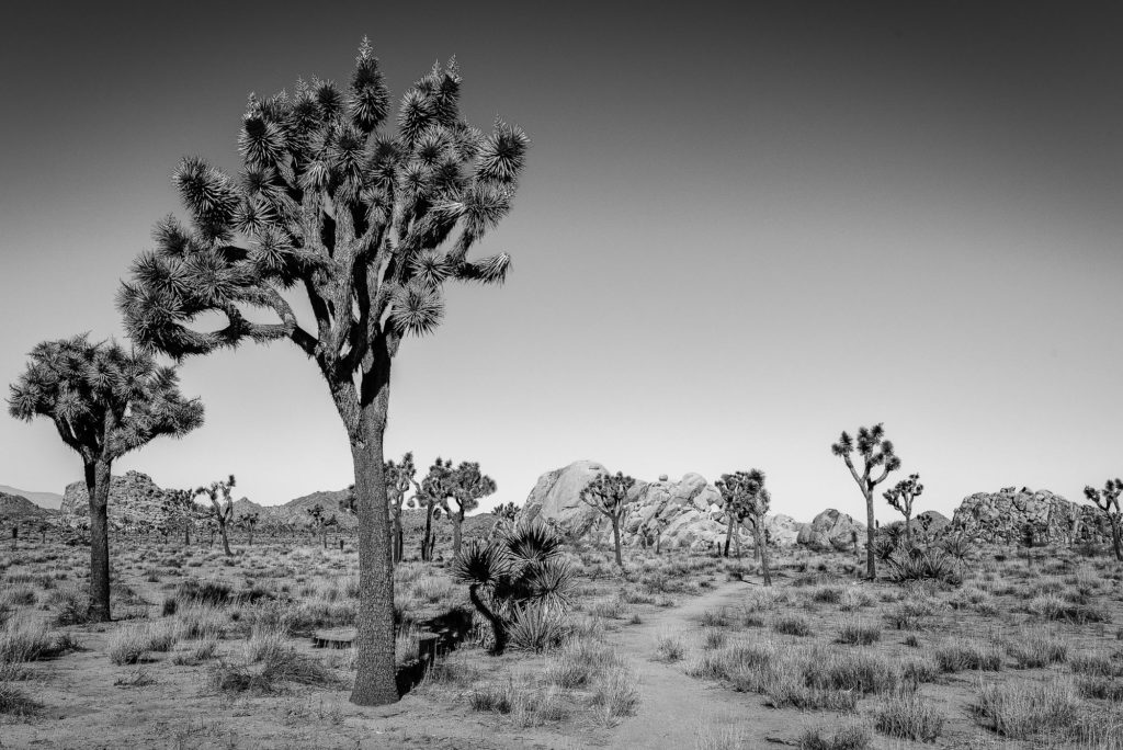photo arbre joshua tree