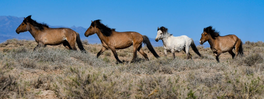 photo illustration mongolie chevaux